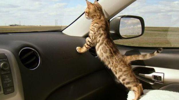 trasporto gatti in auto